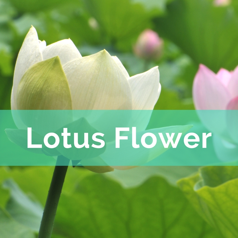 Flower power nine flowers to activate the energy in your home lotus has come to represent grace and equanimity it is a buddhist symbol of the path to enlightenment from bud to flower rising above the muddy water mightylinksfo